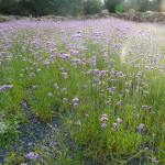 A sea of verbena at Les Jardins de Colette