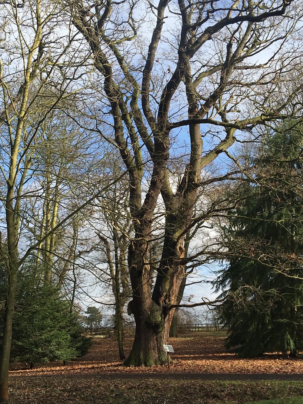 oak tree at hodsock priory