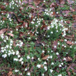 ground cover snowdrops