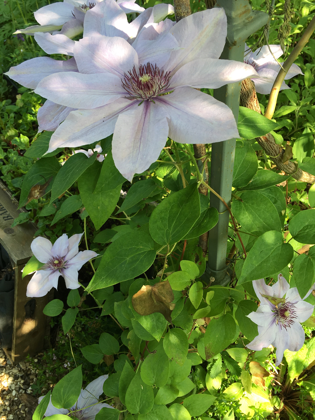 clematis blue explosion