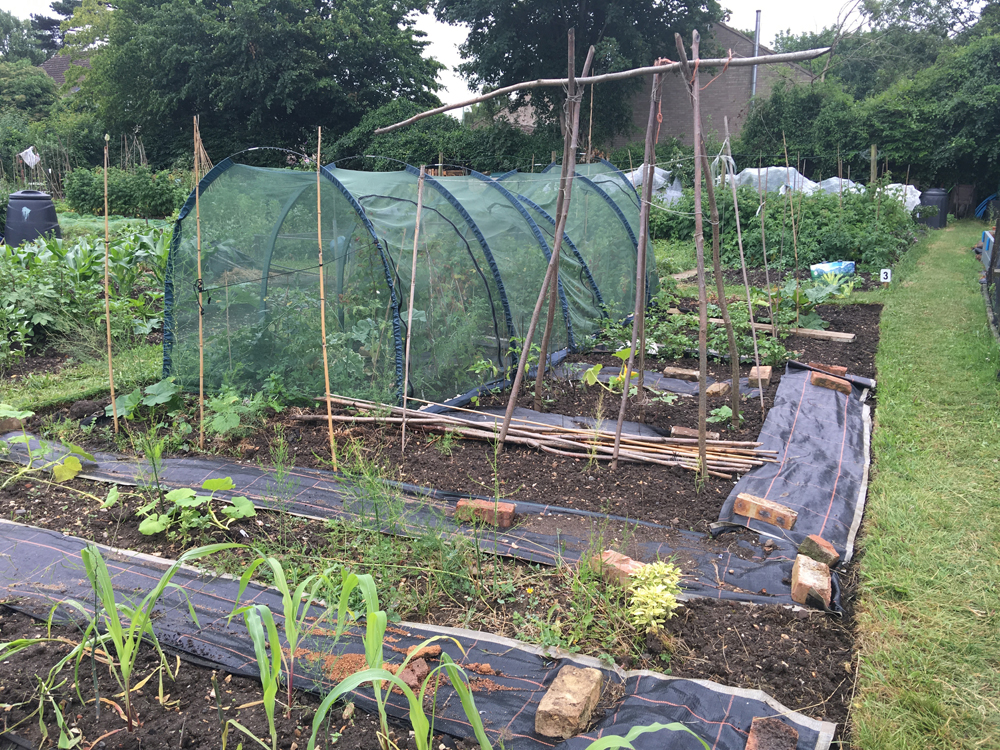 sweetcorn squash and potatoes on the allotment