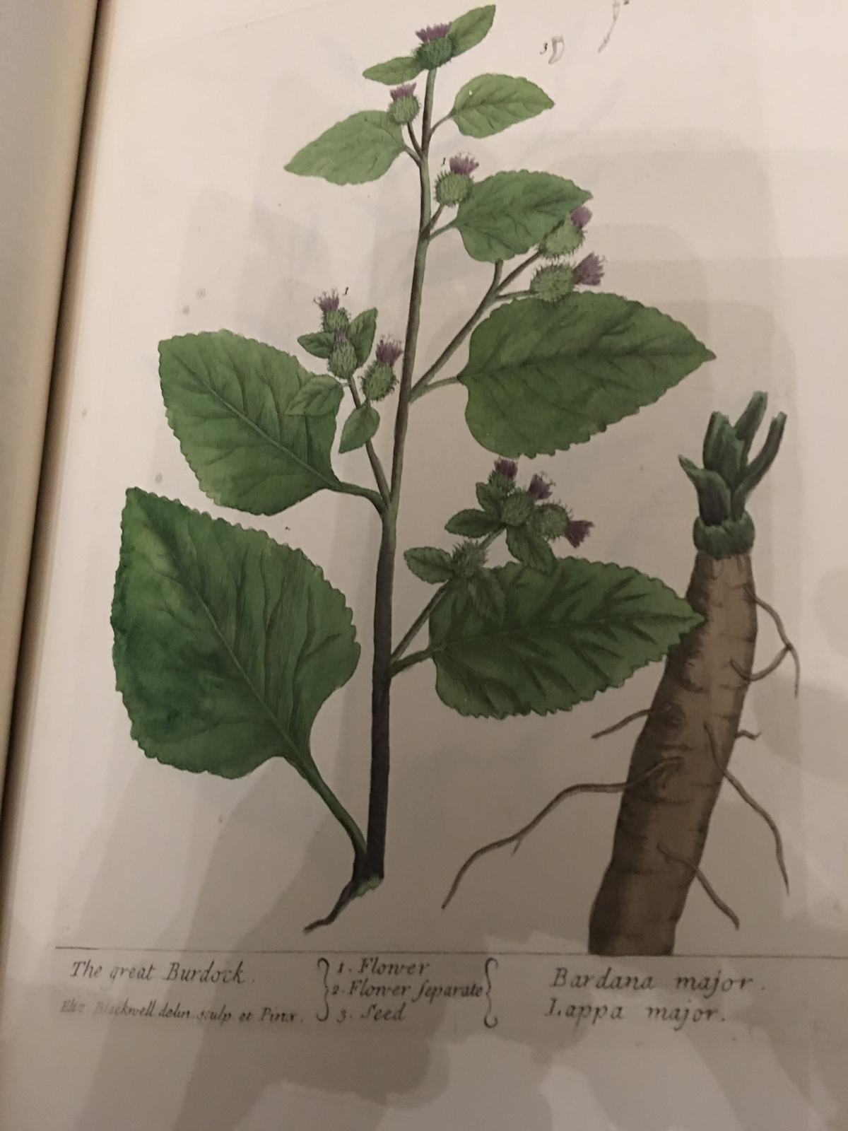 The Great Burdock from Elizabeth Blackwell's A curious herbal