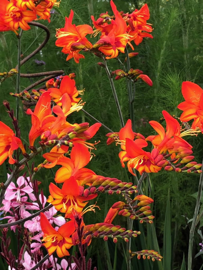 Crocosmia 'Scorchio'